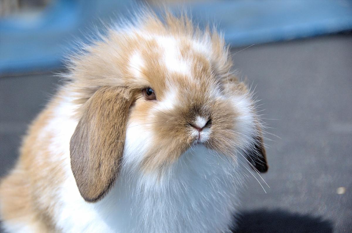 flemish-lop-rabbit-1104748_1920